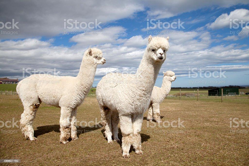 Alpacas on a farm, Scotland stock photo