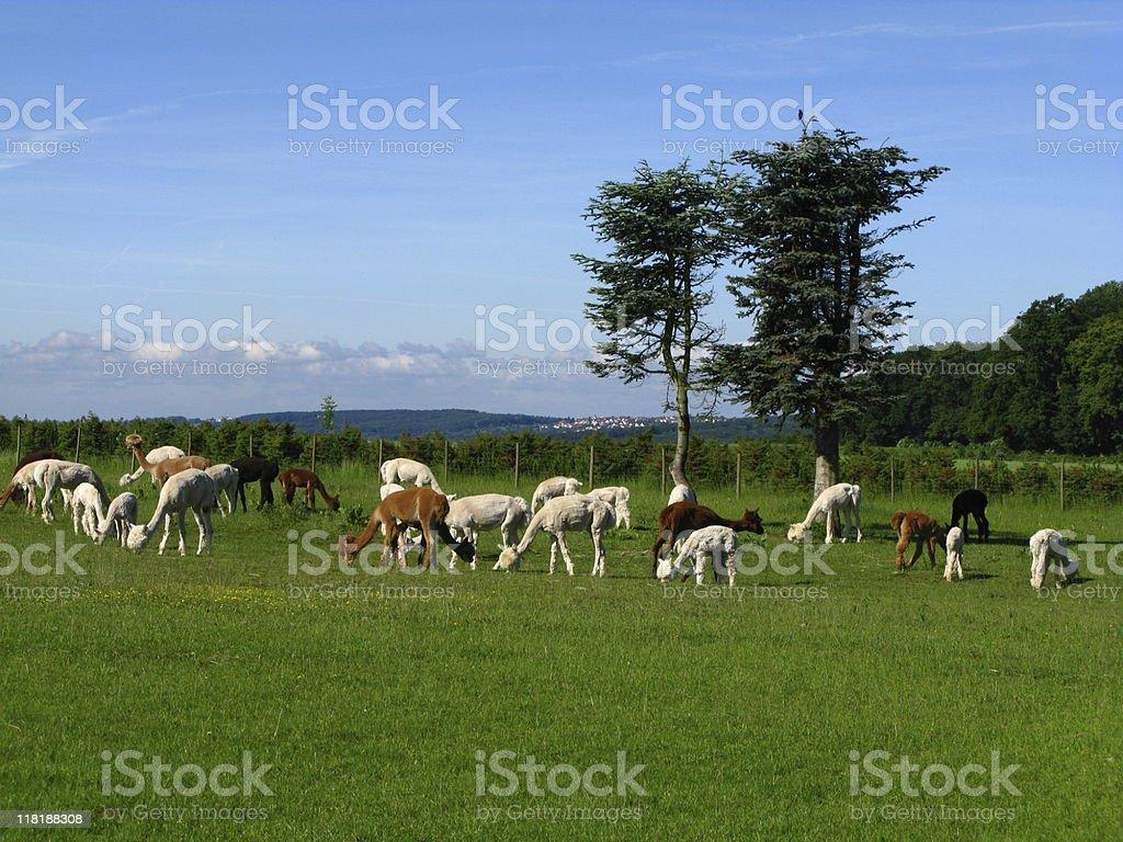 Alpacas on grazing land royalty-free stock photo