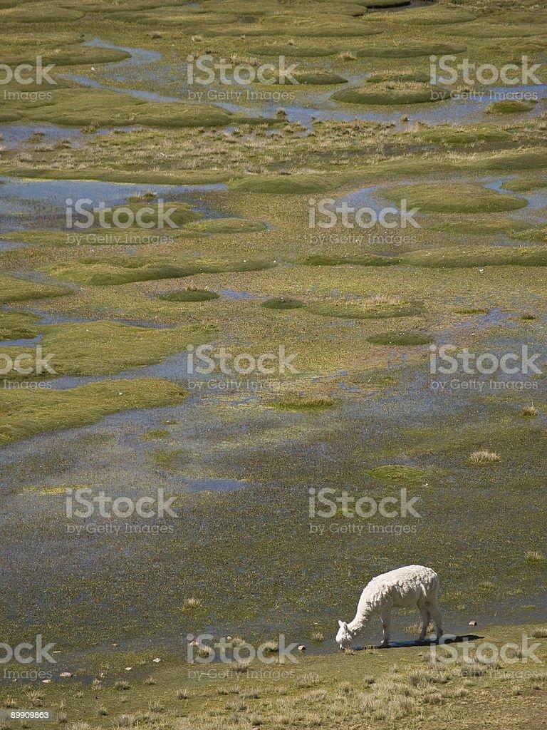 Alpakas Viehweide auf die Anden grassland in Peru Lizenzfreies stock-foto