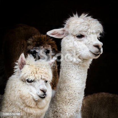 Two white alpacas in the flock against black background.