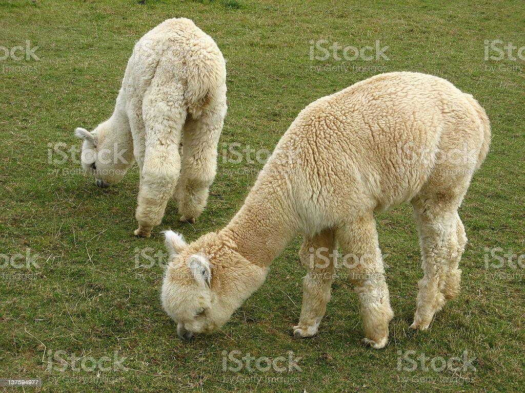 Alpacas royalty-free stock photo