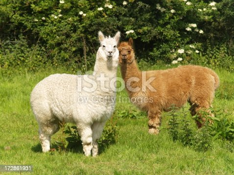 One white and one brown alpaca