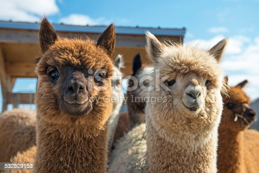 Alpacas looking at camera. They are very curious!