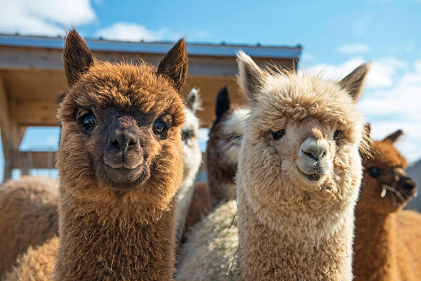 Alpaca Stock Photos, Pictures & Royalty-Free Images - iStock