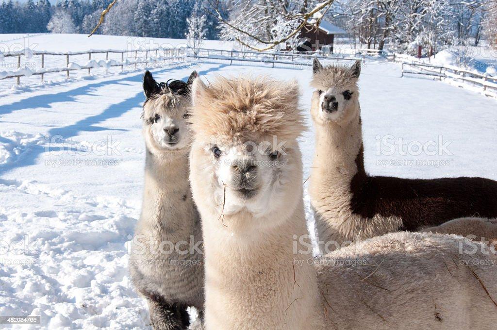 Alpakas im Schnee stock photo