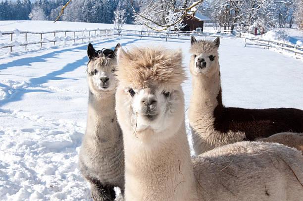 alpakas im schnee - alpaca fotografías e imágenes de stock