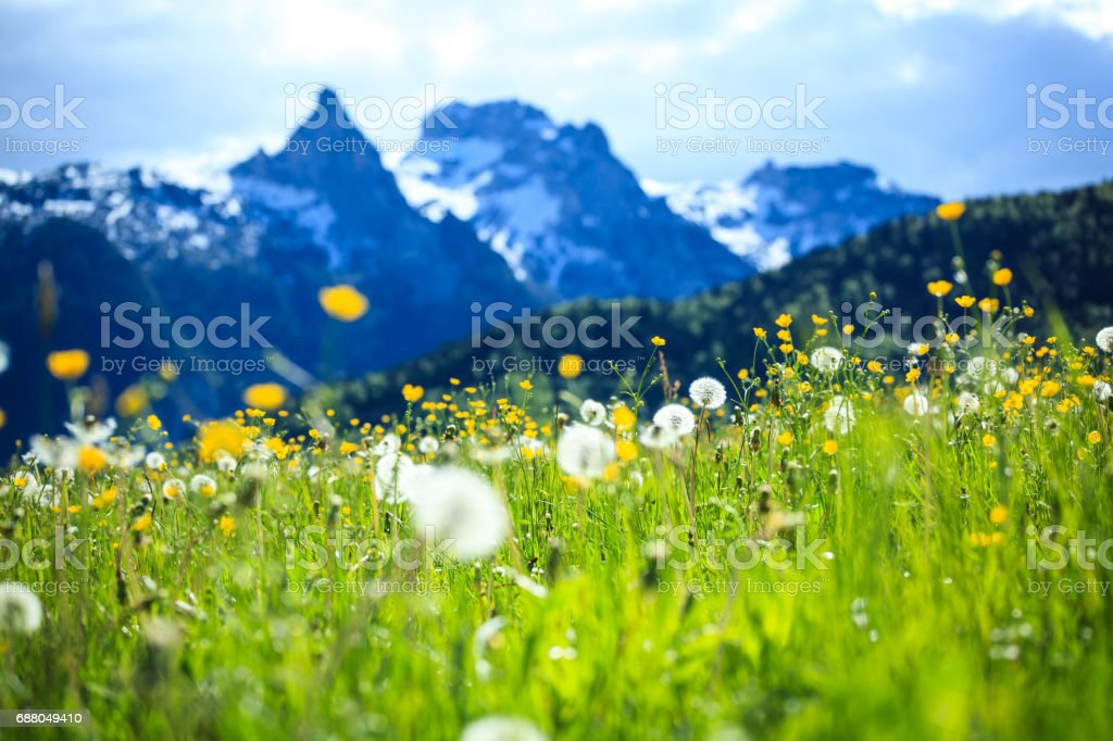 Alpen Landscape - Green Field Meadow full of spring flowers - selective focus (For diffrent focus point check the other images in the series) - Royalty-free Agricultural Field Stock Photo