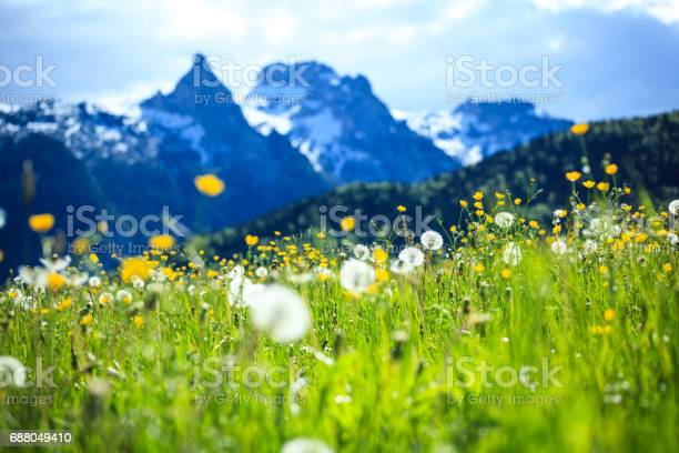 Alpen Landscape Green Field Meadow Full Of Spring Flowers Selective Focus Stock Photo - Download Image Now