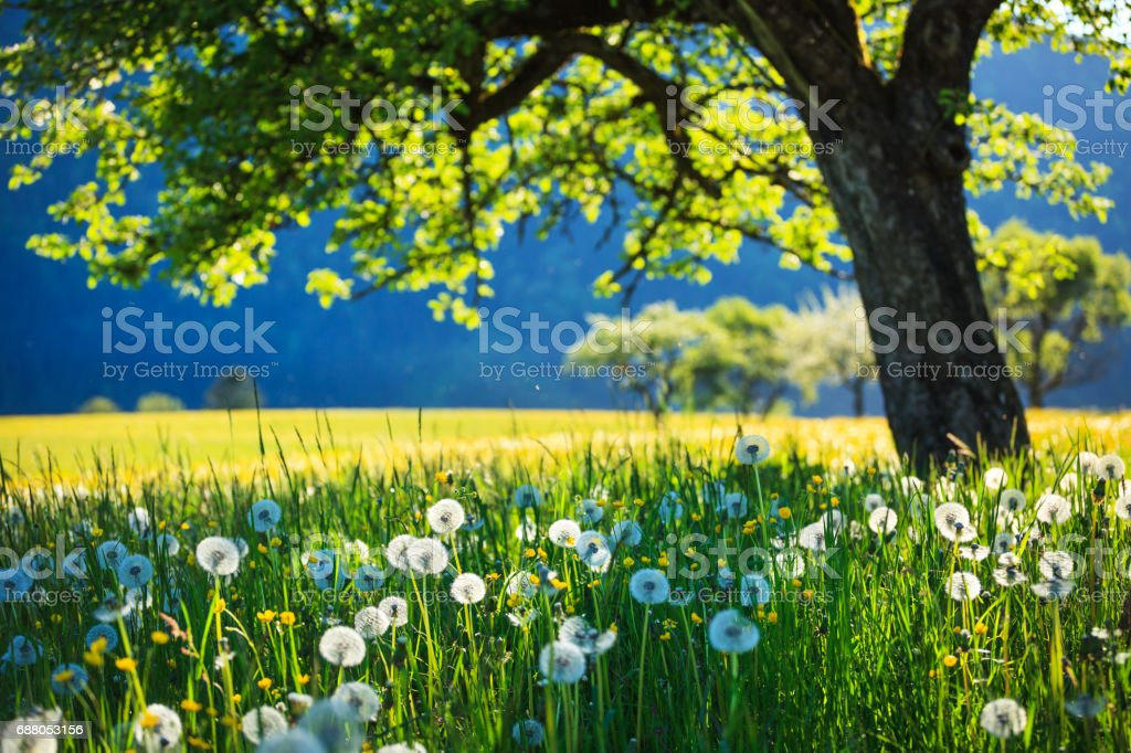 Alpen Landscape - Green Field Meadow full of spring flowers - selective focus (For diffrent focus point check the other images in the series) stock photo