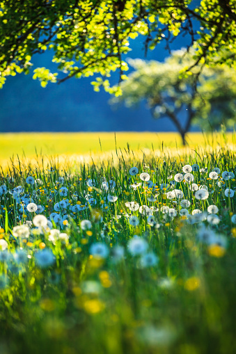 Alpen Landscape - Green Field Meadow full of spring flowers - selective focus (For diffrent focus point check the other images in the series)