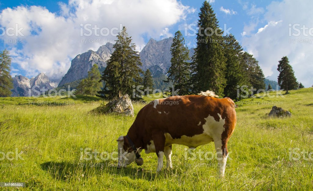 Alpenpanorama mit Kuh stock photo