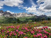 Blooming Alpenrose (Rhododendron ferrugineum) in the Alps