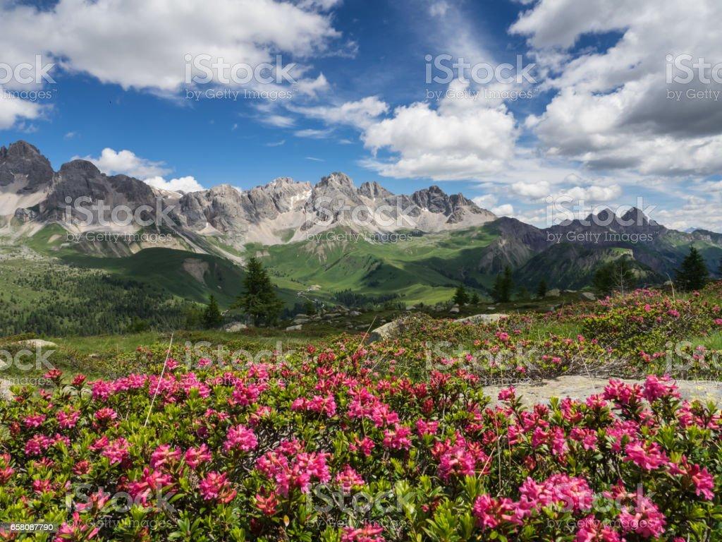 Alpenrose Blüte in den Alpen – Foto