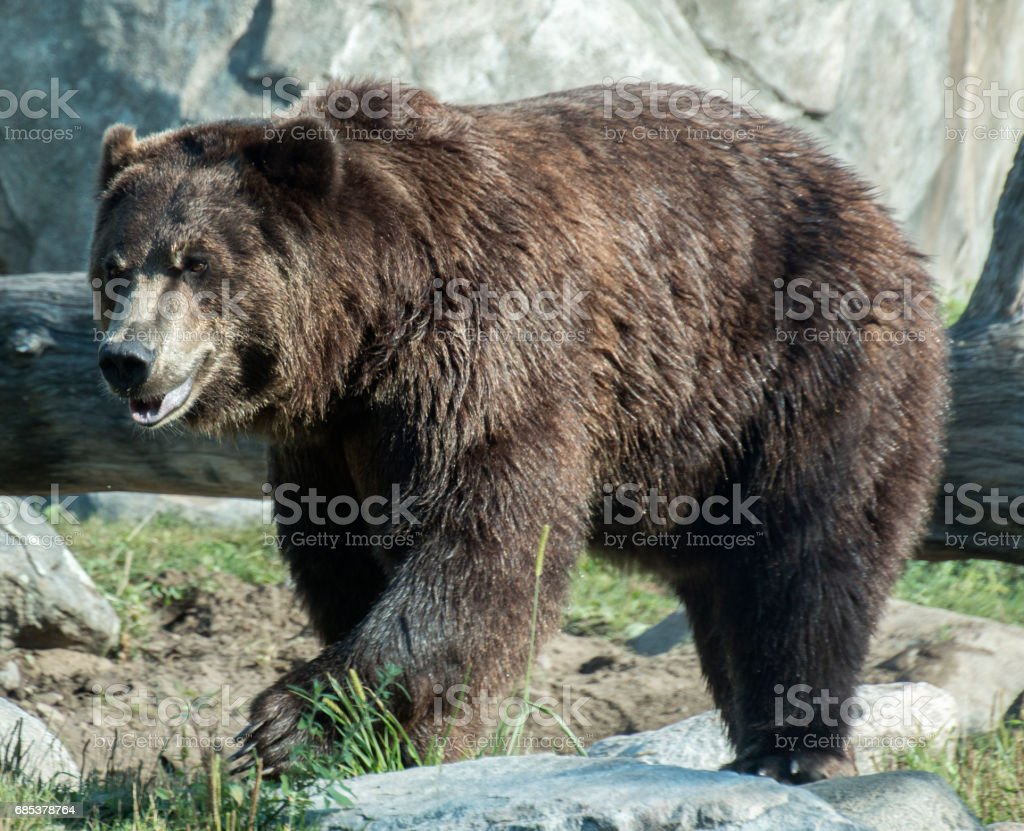 Alpha bear foto de stock royalty-free