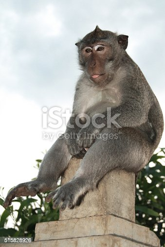 istock Alpha male of monkey is showing a tongue 515828926