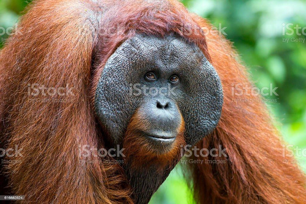 Alpha male orang-utan stock photo
