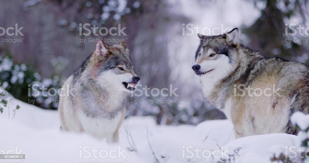 Alpha wolf showing teeth to pack member stock photo