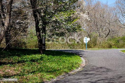 Alphalt crossroad with white plate arrow sign.Sakura covered on road,the way, in Hitachi seaside park ,in spring season, Ibaraki,Japan.