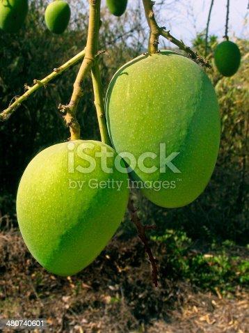 Alphonso mangoes, Mangifera indica L. hanging on a tree, Ratnagiri, Maharashtra, India