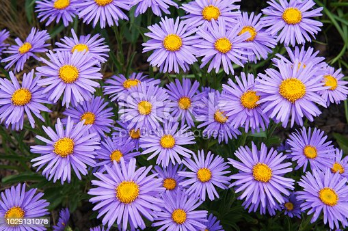 Alpine asters or or aster alpinus goliath  violet flowers