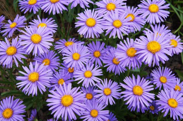 Alpine Astern oder oder Aster Alpinus Goliath violette Blumen – Foto