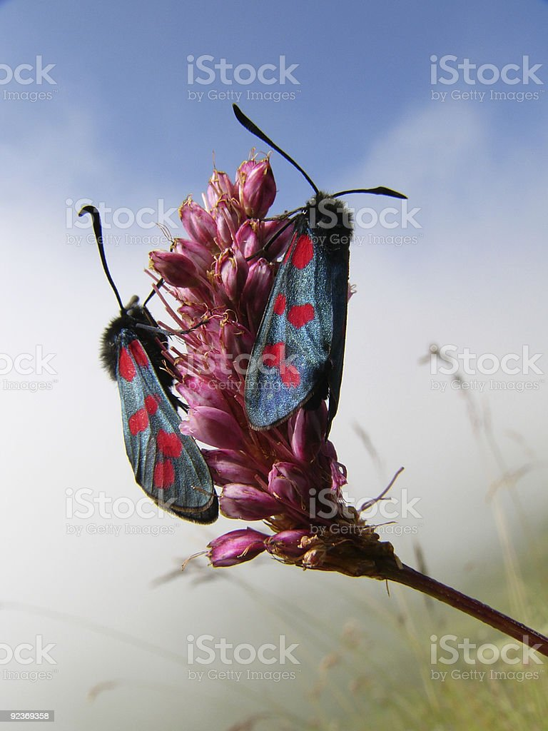 Alpine butterflies royalty-free stock photo
