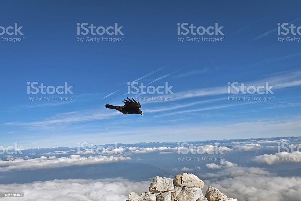 Alpine Chough in Julian Alps Europe royalty-free stock photo
