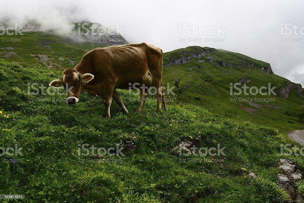Alpine Cow Life royalty-free stock photo