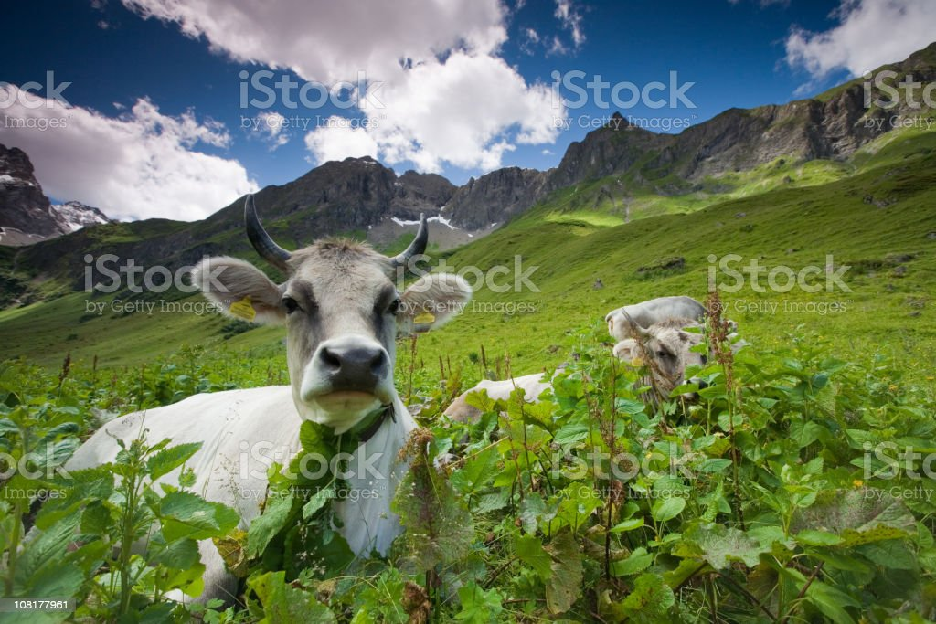 alpine cow royalty-free stock photo