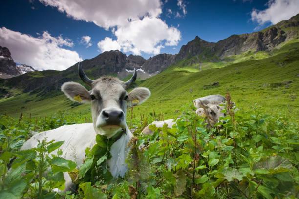 alpine Kuh – Foto