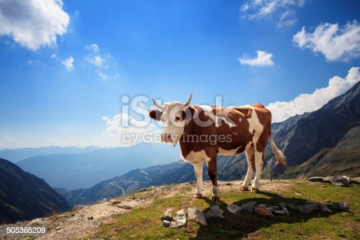Cow in European Alpes, Austria.