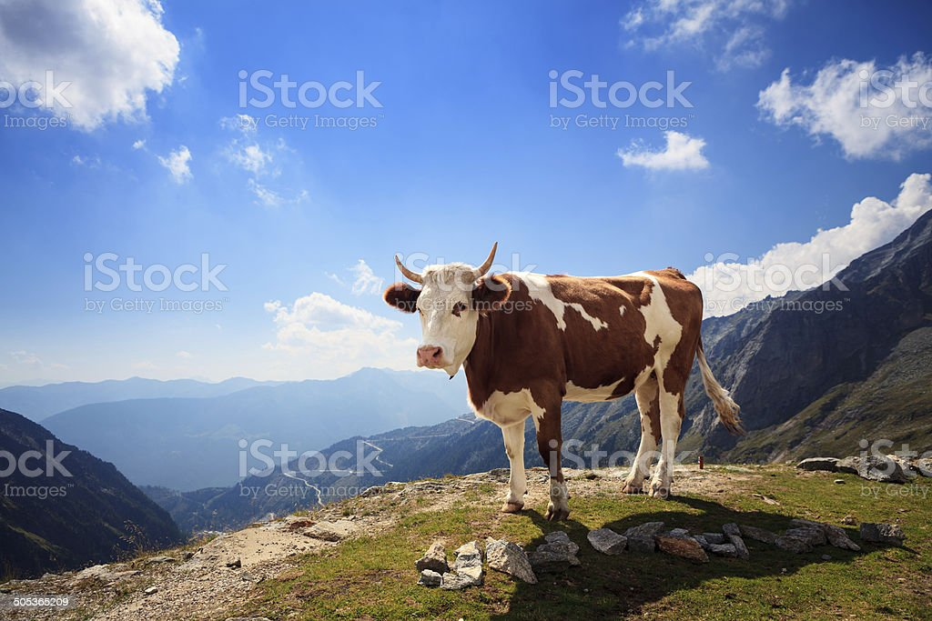 Alpine Cow stock photo