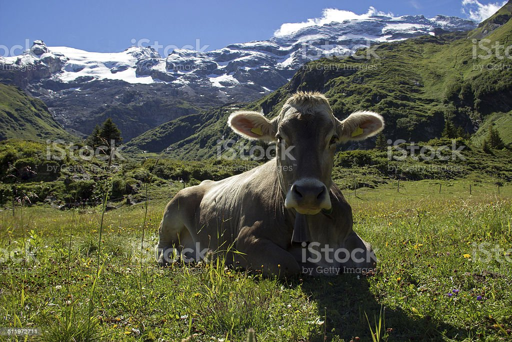 Alpine Cow stock photo