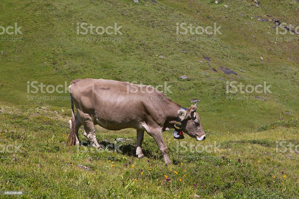 Alpine cow with large traditional bell in meadow, Swiss Alps. stock photo