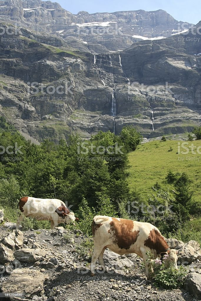 Alpine Cows in Les Diablerets Area, Swiss royalty-free stock photo