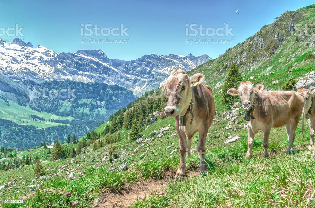 Alpine cows in the pasture in the mountains stock photo