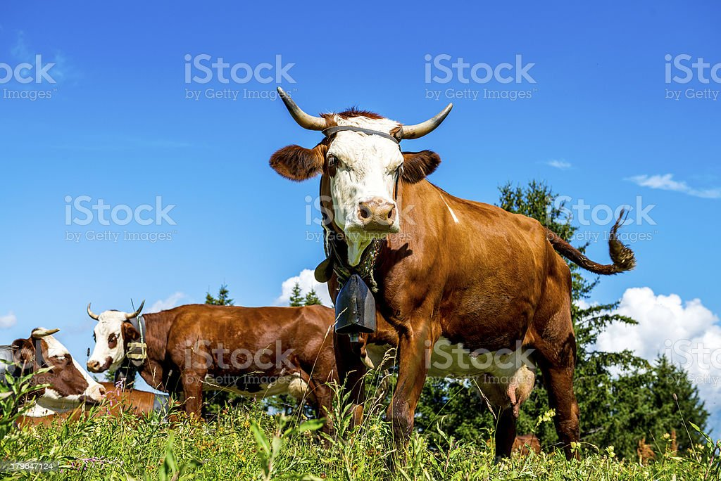 Alpine cows royalty-free stock photo