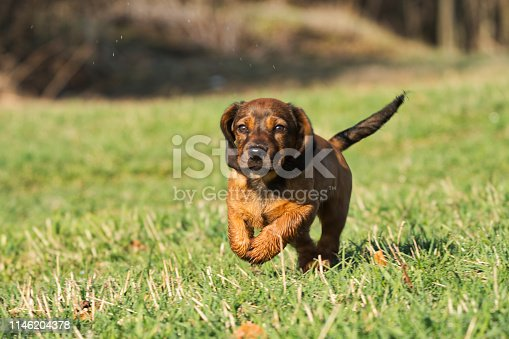 The Alpine Dachsbracke is a small breed of dog of the scent hound type originating in Austria. The Alpine Dachsbracke was bred to track wounded deer as well as boar, hare, and fox.