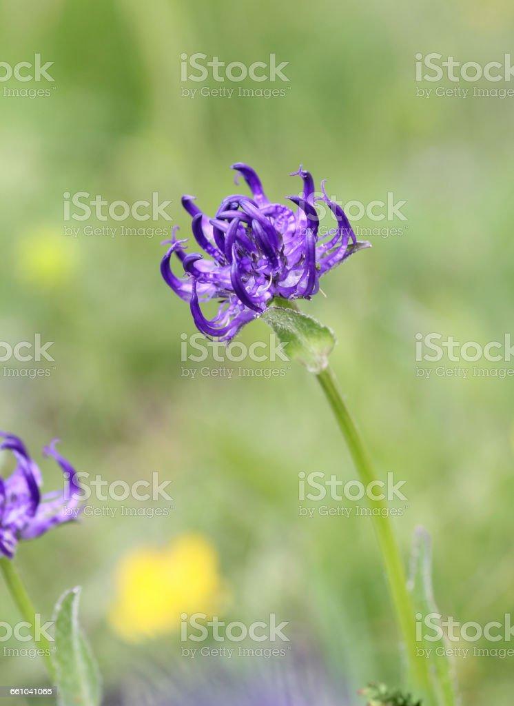 Alpine Flora: round-headed rampion stock photo