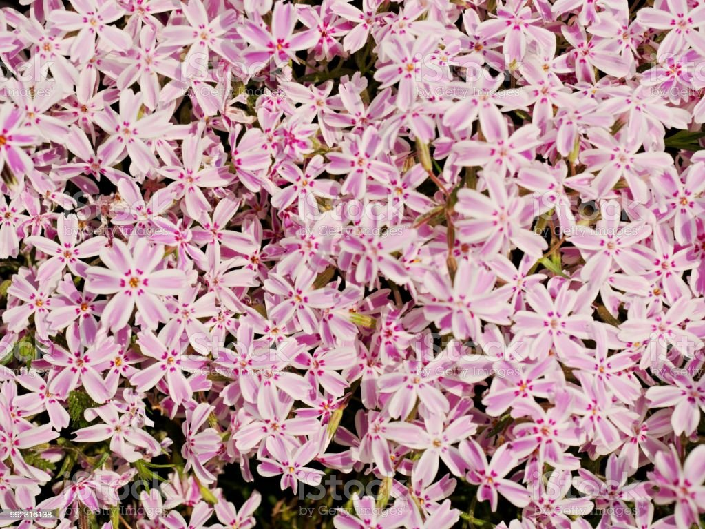 Alpine Flower Bed With Pink White Phlox Flowers Carpet Purple Pink