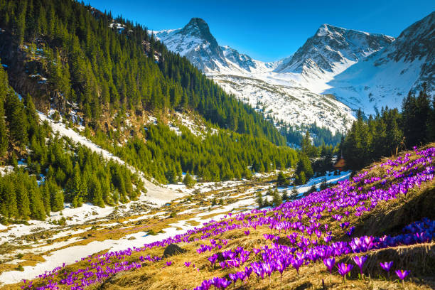 Alpine flowery glade with purple crocus flowers, Carpathians, Romania stock photo