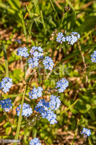 Close up of Alpine forget-me-nots growing in an alpine meadow in Denali National Park, Alaska.