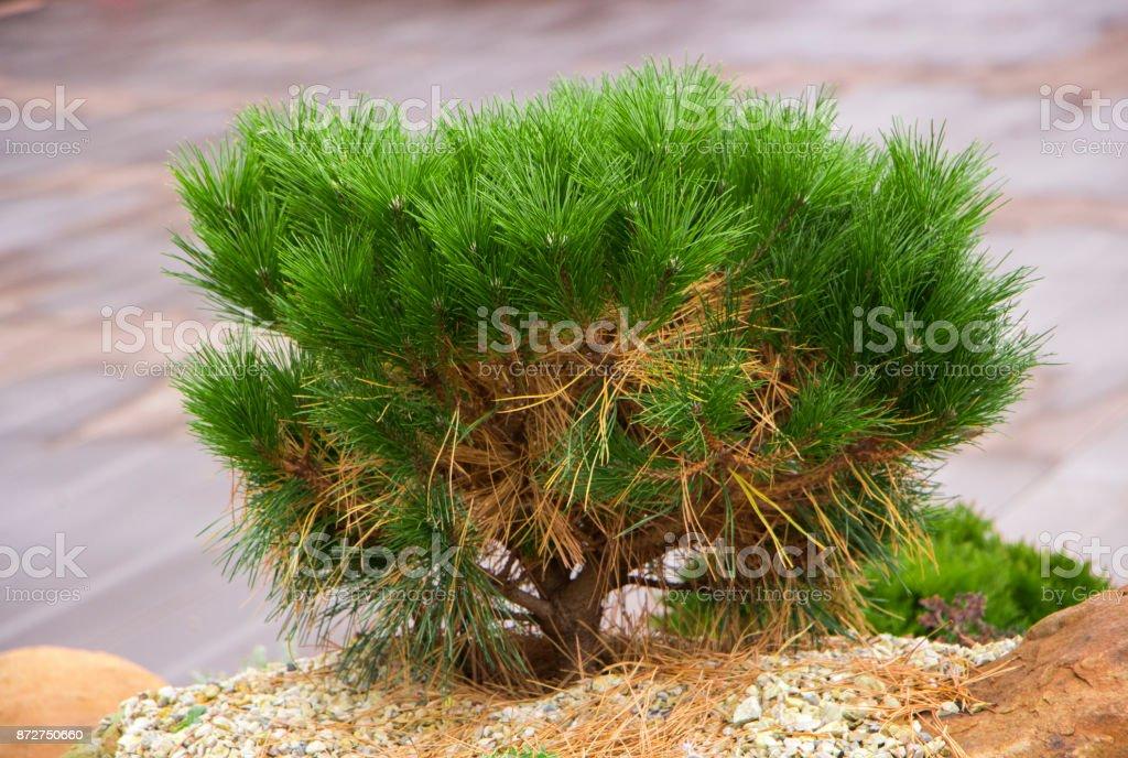 Alpine garden with dwarf conifers stock photo