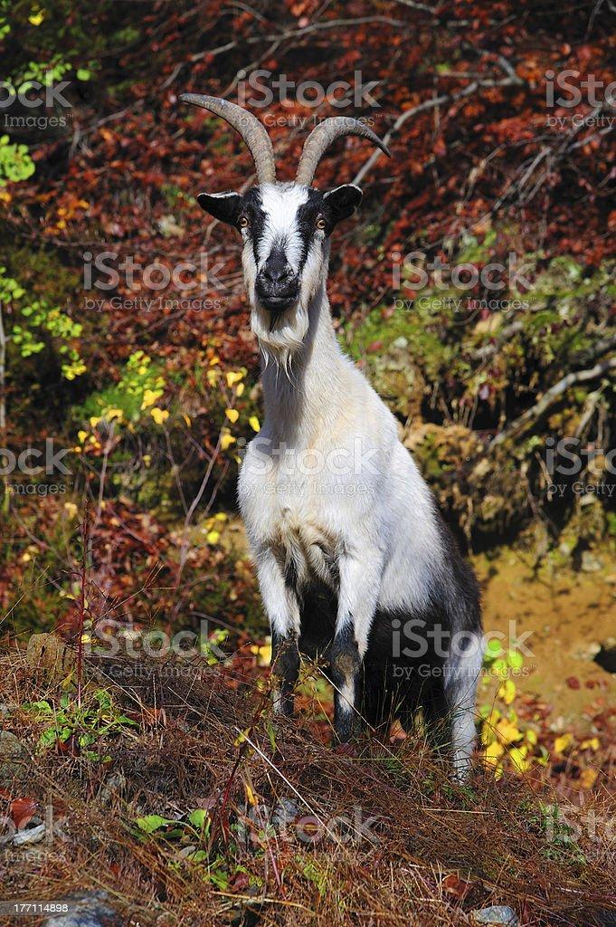 Alpine goat royalty-free stock photo