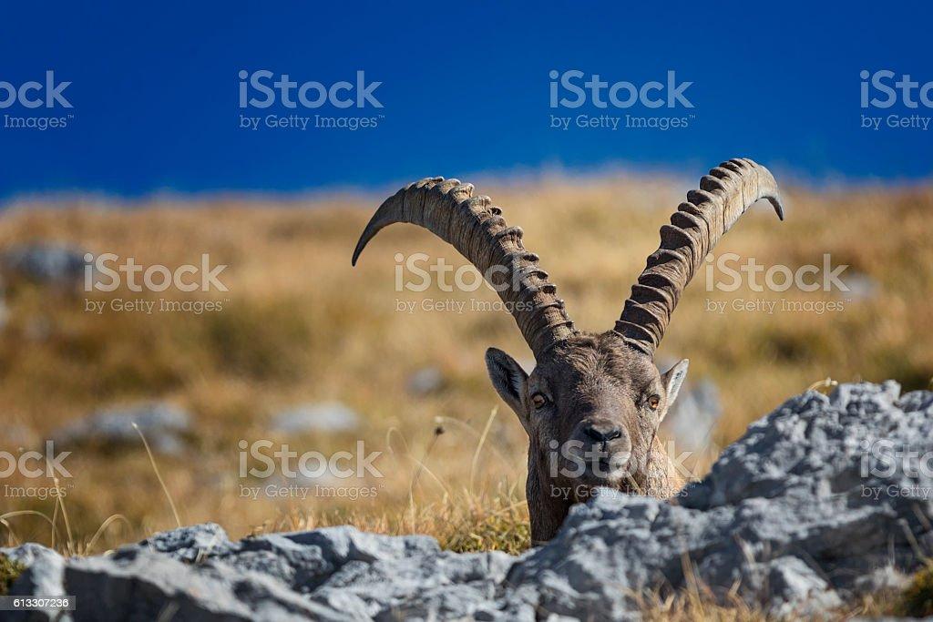 Alpine Ibex at Mount Watzmann -  Nationalpark Berchtesgaden stock photo