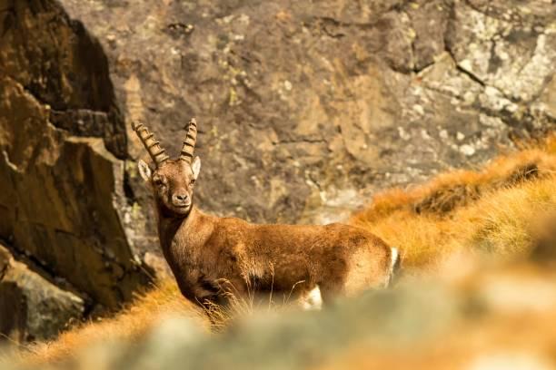alpine ibex, capra steinböcke, mit herbstgras und felsen im hintergrund, nationalpark gran paradiso, italien. herbst im berg säugetiere am felsen, pflanzenfresser - steinbock mann stock-fotos und bilder