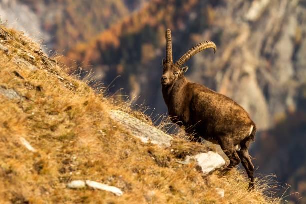 alpine ibex, capra steinböcke, mit herbstlich orangefarbenem lärchenbaum im hintergrund, nationalpark gran paradiso, italien. herbst im berg säugetiere, pflanzenfresser - steinbock mann stock-fotos und bilder