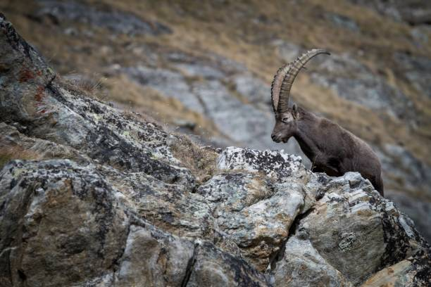 alpine ibex, capra steinböcke, mit felsen im hintergrund, nationalpark gran paradiso, italien. herbst im berg prachtvolles säugetier mit hörnern auf dem felsen, pflanzenfresser, wildlife-szene aus der natur - steinbock mann stock-fotos und bilder