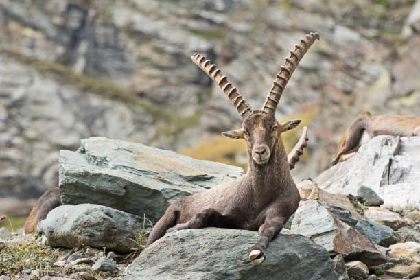 alpine ibex (capra ibex), gran paradiso nationalpark, italien - steinbock mann stock-fotos und bilder