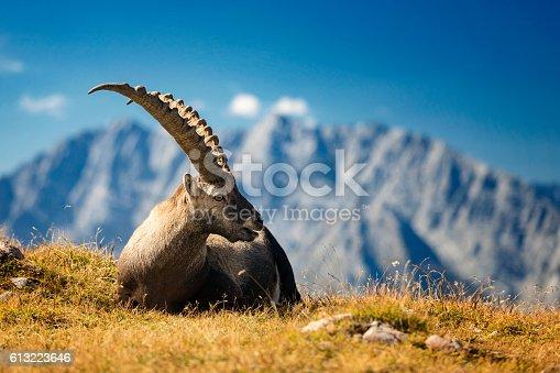 Steinbock - Alpine Ibex in Nationalpark Berchtesgaden (Capra ibex)